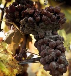 Burgenland - Kracher - Prämierte Edelsüße Weine